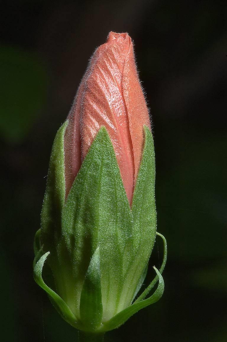 Ibisco rosso piante da giardino ibisco rosso for Ibisco in inverno