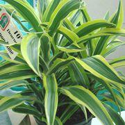 pianta bambù