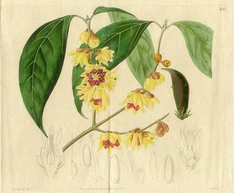 Chimonanthus