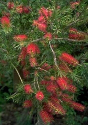 callistemon - callistemon - piante da giardino - Piante Sempreverdi Da Esterno Con Fiori