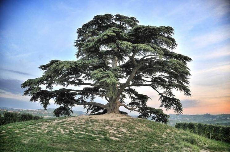 Attractive Il Cedro è Un Albero Ornamentale Di Grandi Dimensioni Coltivato Come  Ornamentale In Italia Grazie Al Suo Aspetto Ed Alle Sue Geometrie  Particolari