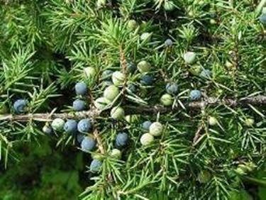 juniperus communis<p />