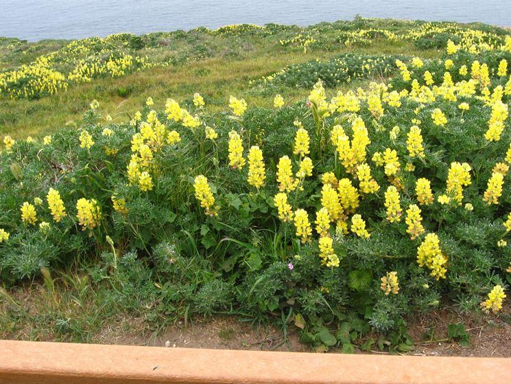 lupini gialli