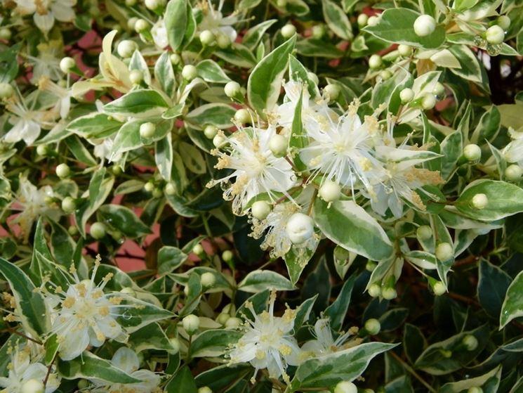 Il mirto myrtus communis piante da giardino for Piante fiorite perenni da esterno