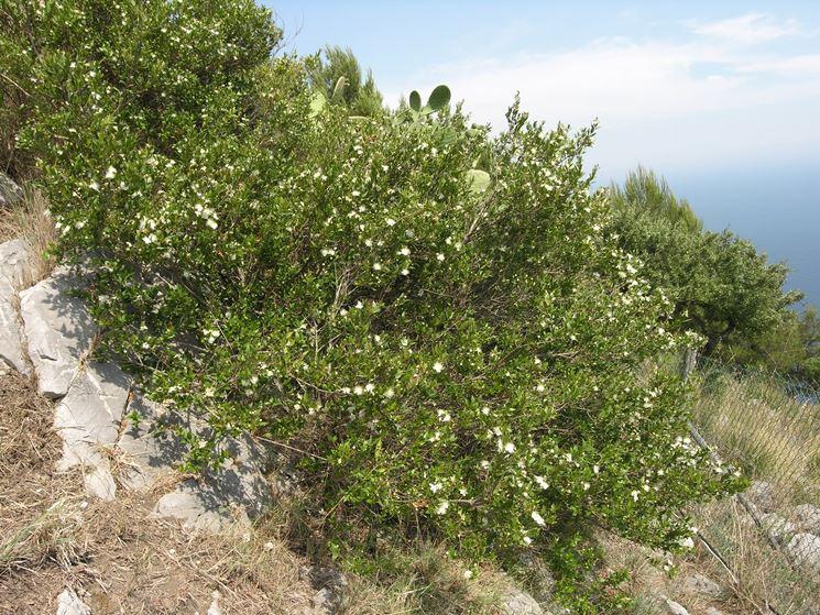 Il mirto myrtus communis piante da giardino for Pianta mirto