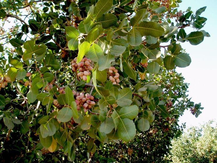 pistacchio pianta