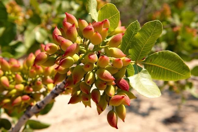 Il pistacchio pistacia vera piante da giardino for Potatura piante da giardino