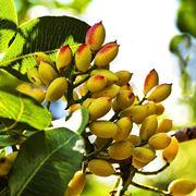 pianta pistacchi