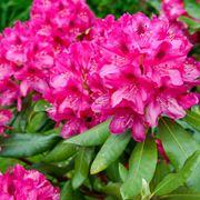 Il rododendro