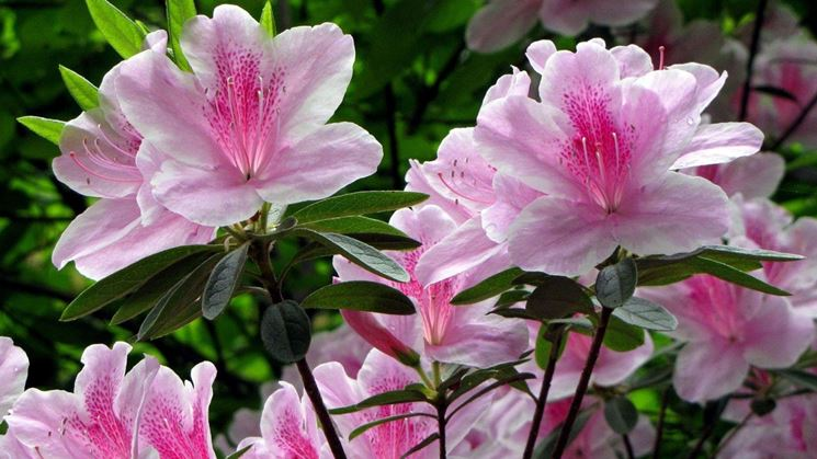 rododendro bicolore
