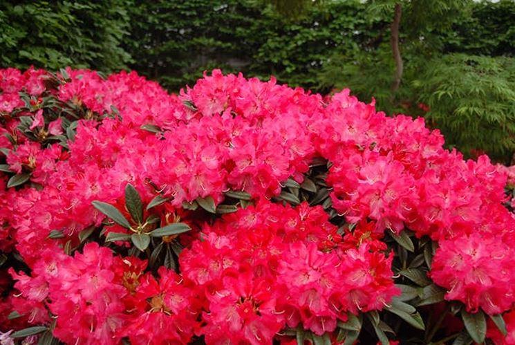 Il rododendro rhododendron piante da giardino il for Rododendro pianta
