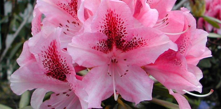 <h6>Il rododendro</h6>In questo articolo si tratter� del rododendro una bellissima pianta da fiore, delle sue variet�, delle cure necessarie alla sua crescita e il clima in cui cresce nella maniera ottimale.