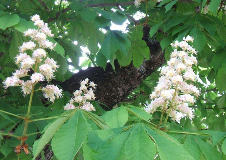 Fiori foglie castagno