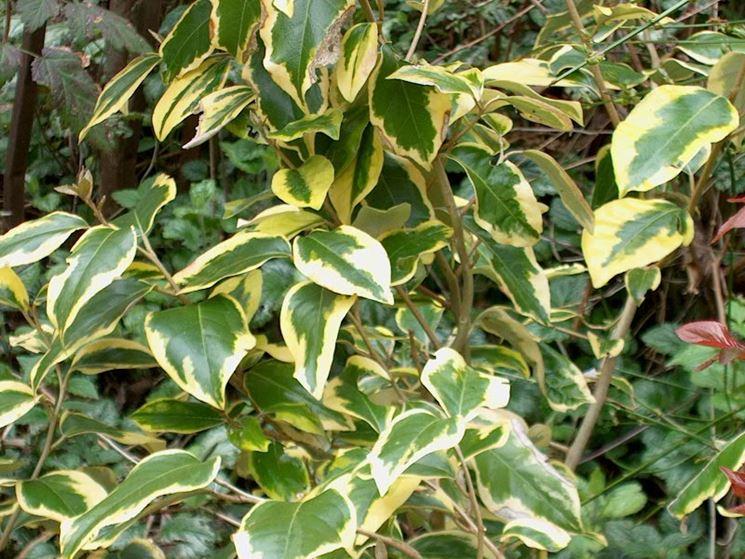 Eleagno pianta