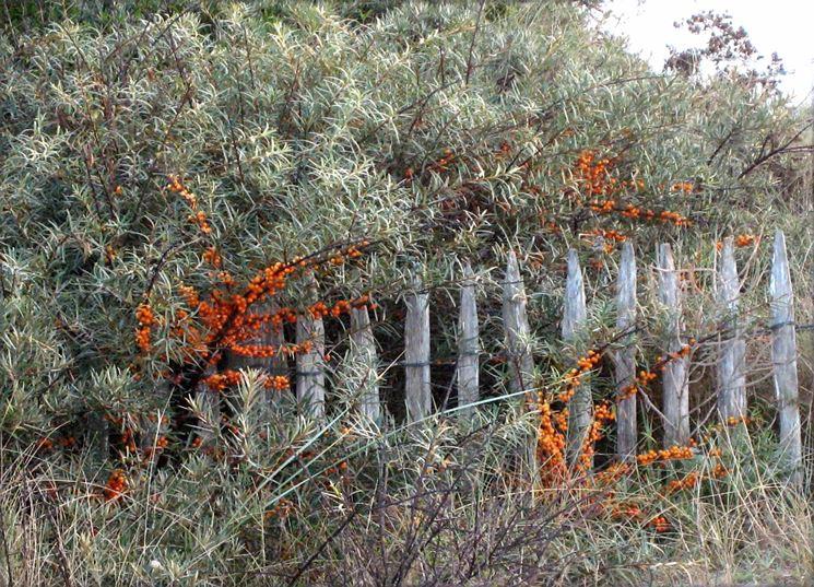 l'olivello spinoso � un arbusto rustico