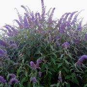 Buddleia pianta