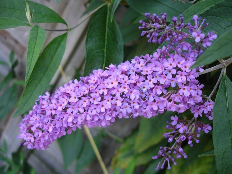Buddleja fiori