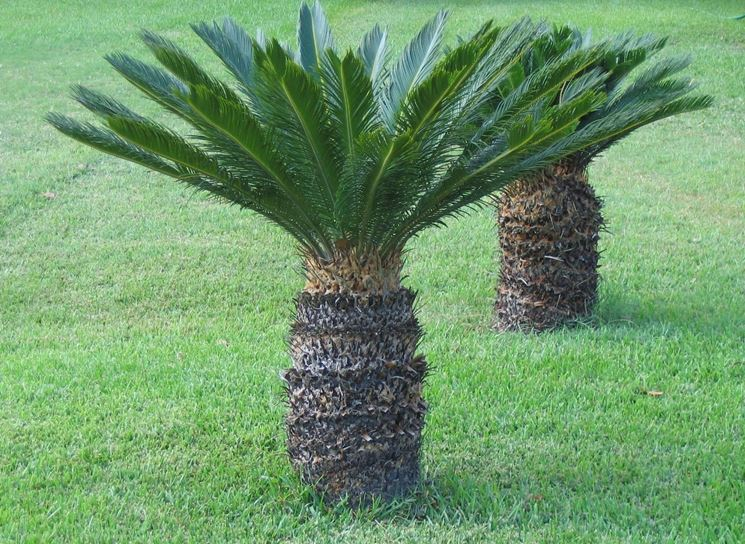 cycas coltivazione