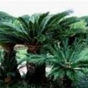 pianta cicas
