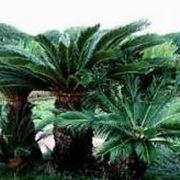 La cycas piante da giardino caratteristiche della cycas - Trapianto camelia ...