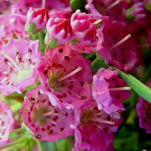 La kalmia kalmia piante da giardino - Piante invernali da giardino ...