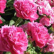 La peonia paeonia piante da giardino for Peonie periodo