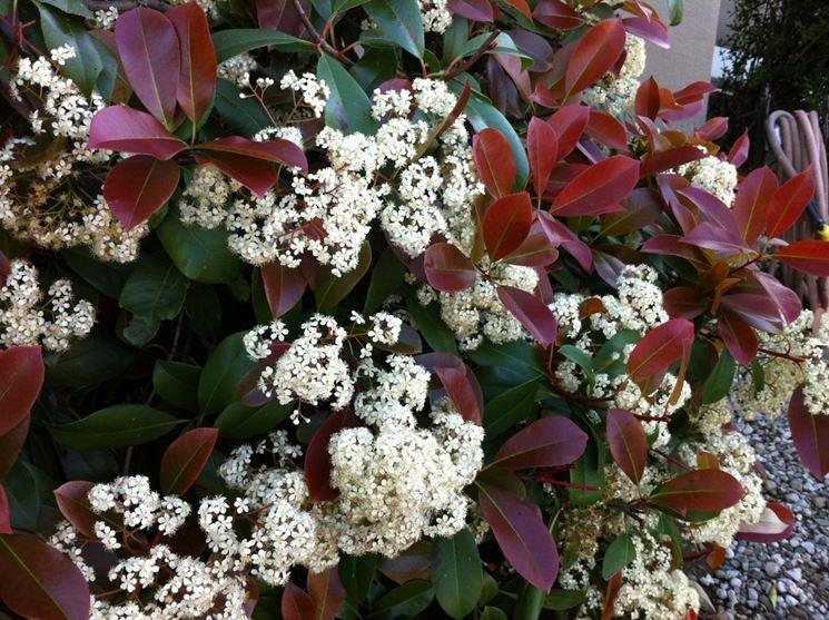 Photinia fiore