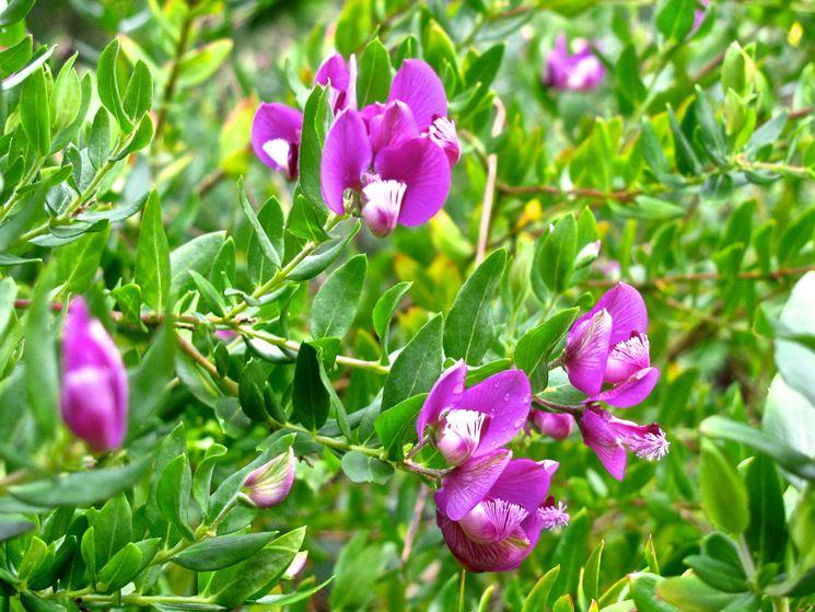 fiori polygala