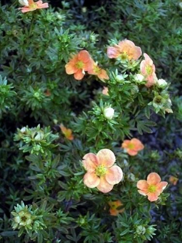 potentilla fructicosa red ace
