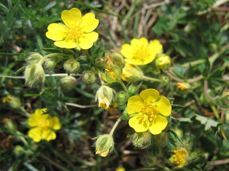 Pianta Fiori Gialli Primavera.La Potentilla Potentilla Piante Da Giardino Caratteristiche
