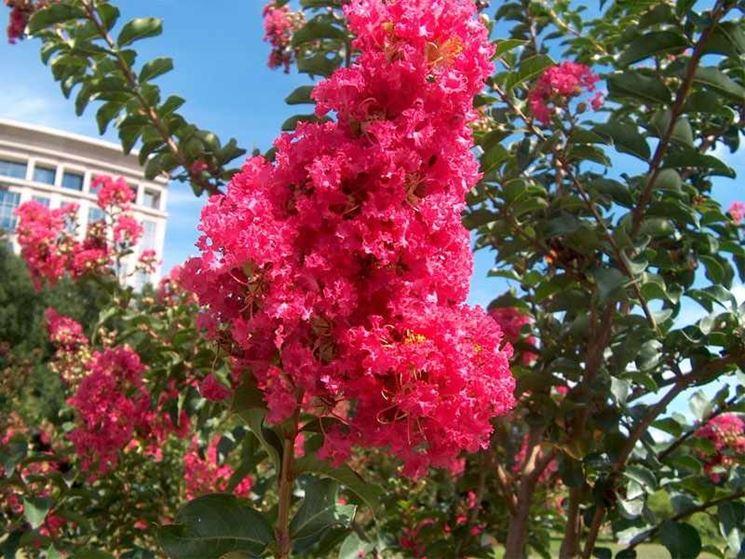 Lagerstroemia fiore