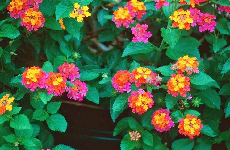 Fiori colorati Lantana