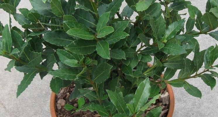 pianta di lauro