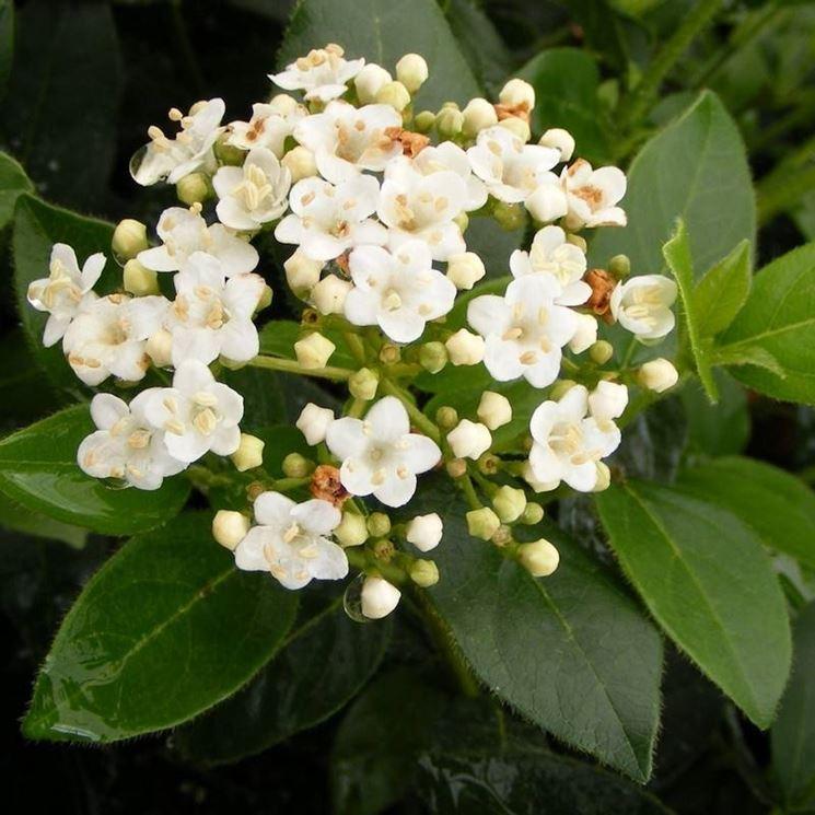 Lauro pianta piante da giardino lauro pianta for Pianta di alloro