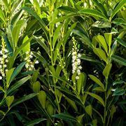 lauroceraso piante