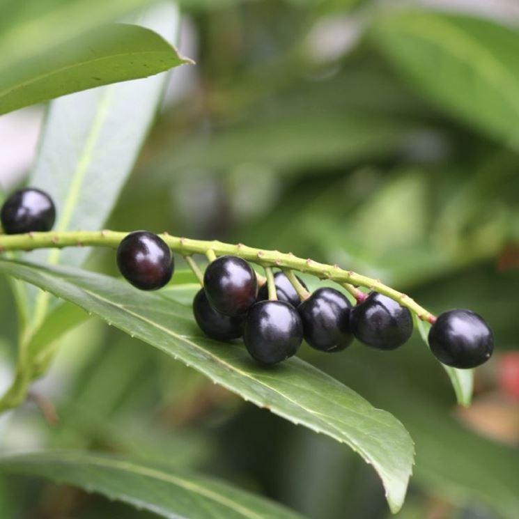 Lauroceraso piante da giardino coltivare il lauroceraso for Lauroceraso malattie