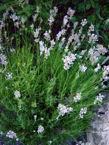 lavandula angustifolia loddon pink