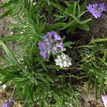 lavendula angustifolia blue cushion
