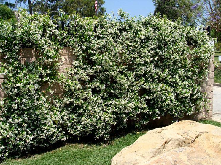 Trachelospermum jasmonoides