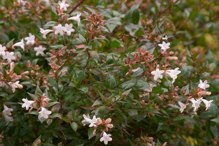 Abelia x grandiflora