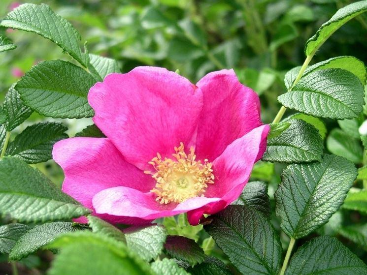rosa rugosa siepe