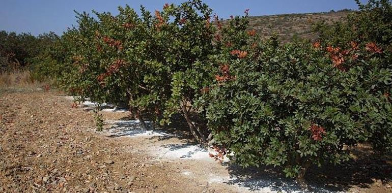 <h6>Lentisco</h6>Il Lentisco � una pianta sempreverde che potr� fiorire anche nel vostro giardino con i nostri utili consigli.