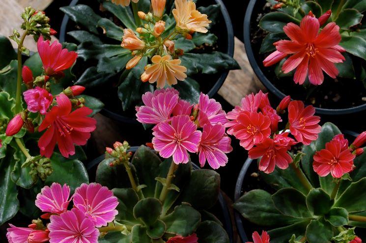 Lewisia fiore