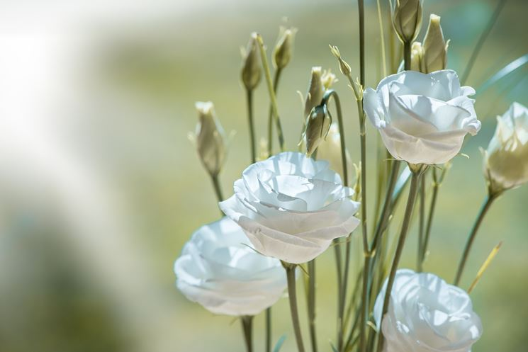 Fiori <strong>lisianthus</strong> bianco