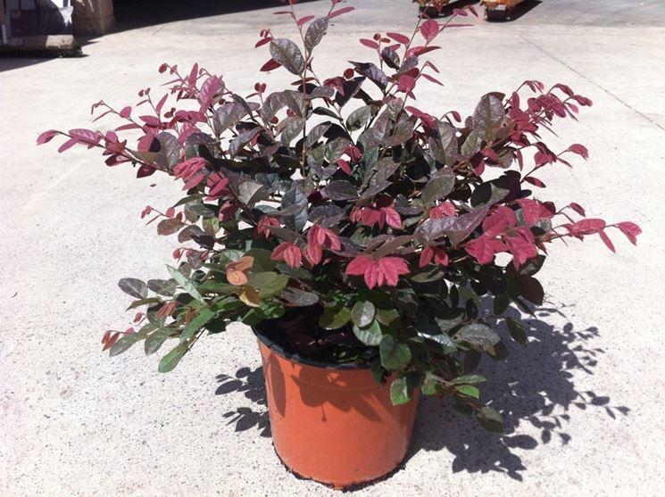 Loropetalum pianta