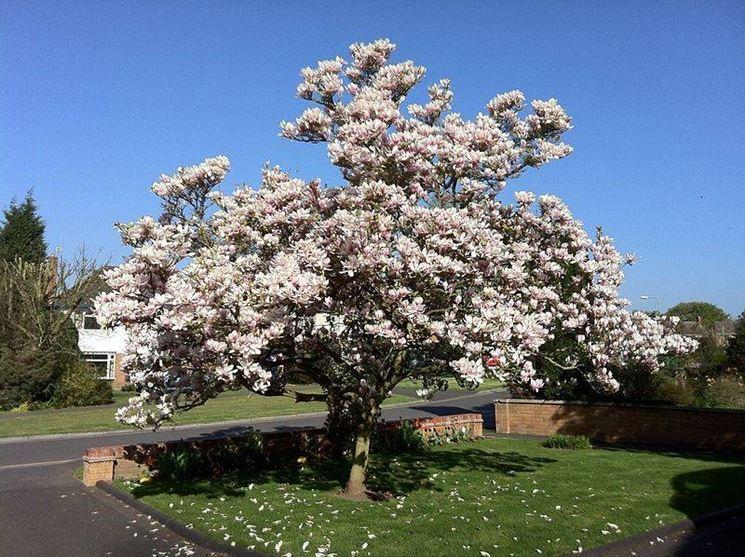 Magnolia soulangeana piante da giardino magnolia soulangeana - Piante bellissime da giardino ...