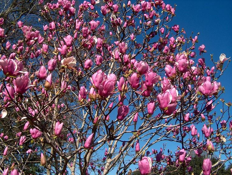 Pianta di magnolia