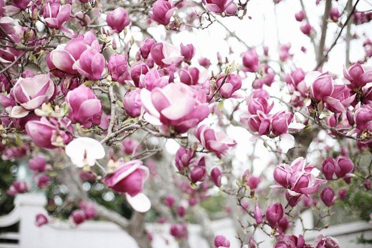 Pianta di magnolia fiorita