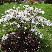 Magnolia stellata giardino