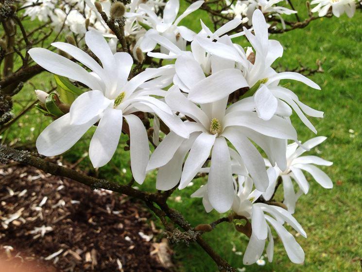 Fiori magnolia stellata